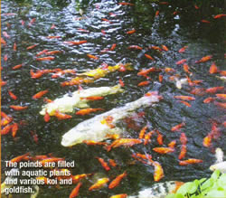 Koi and Goldfish in the pond